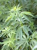 Cannabis Sativa L.