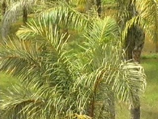 Palmier à Raphia
