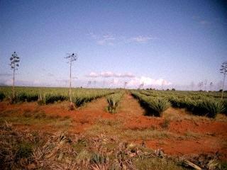 Plantation de sisal